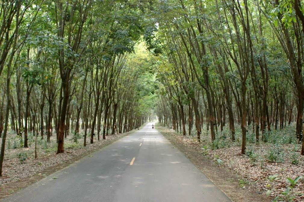 Лес резиновых деревьев и сельская дорога в тайской глубинке