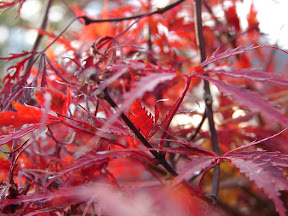 Japanese Maple Flower