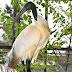 Schwarzkopfkibis - Zoo Landau - © info@dester.de