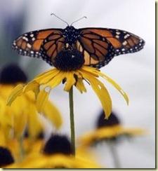 medium_butterfly