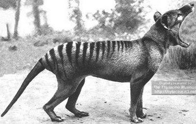 Tilacino: O tigre-da-tasmânia (extinto desde 1936)