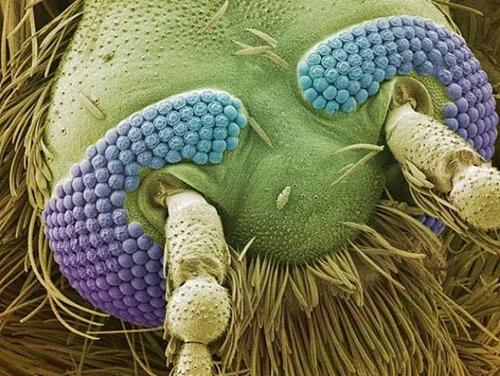 A cabeça de um mosquito.