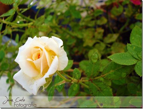 Rosa Amarela 2