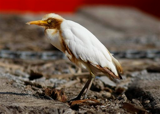 An oil-stained cattle egret rests on the deck of the supply vessel Joe Griffin at the site of the Deepwater Horizon oil spill containment efforts in the Gulf of Mexico off the coast of Louisiana, Sunday, May 9, 2010. Harry R. Weber / Ray Henry / Associated Press