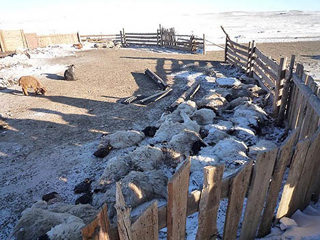 Mongolian animal herds are being wiped out by bitter cold and deep snow. Photos: Bitterroot Badger.
