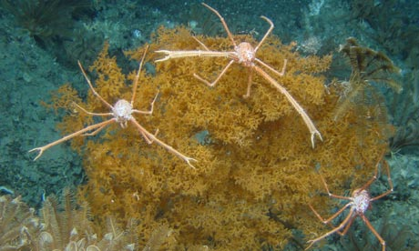 Squat lobsters on a cold-water coral reef off the coast of Ireland. Deep-sea trawling poses a particular threat in temperate regions. Photograph: University of Plymouth
