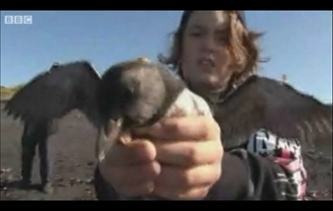 Iceland boy releases a puffin chick. BBC
