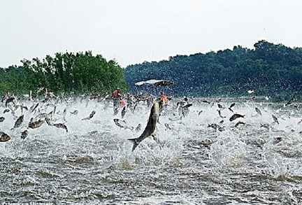 Asian carp jumping. Associated Press file photo