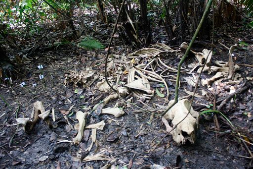In this May 24, 2010 photo released by National Park Ujung Kulon, bones of a Javan rhino scatter in the national park in Ujung Kulon, about 160 kilometers (100 miles) southwest of Jakarta, the capital of Indonesia. The discovery of three dead Javan rhinos has intensified efforts to save one of the world's most endangered mammals from extinction, with an electric fence being built Monday, June 21, 2010 around the new sanctuary and breeding ground. AP Photo / National Park Ujung Kulon