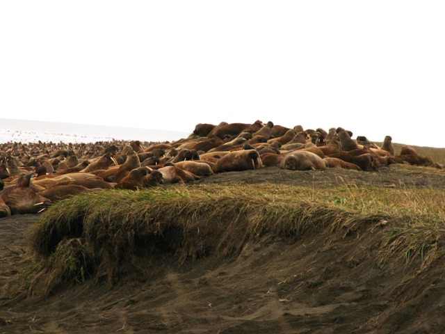 Walruses haul-out along Alaska's shoreline of the Chukchi Sea due to absence of sea ice, September 2010. Source: USGS