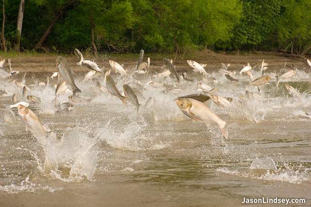 Asian carp jumping out of the Illinois River near Havana, IL. JasonLindsey.com