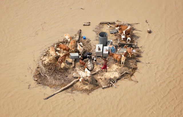 A man marooned by flood waters, alongside his livestock, waves towards an Army helicopter for relief handouts in the Rajanpur district of Pakistan's Punjab province on August 9, 2010. REUTERS / Stringer