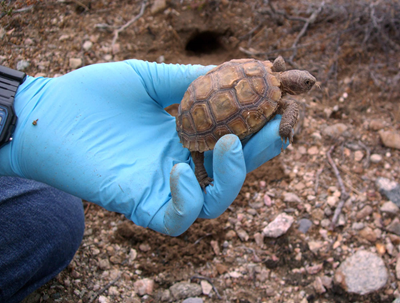 Biologists are relocating species such as this juvenile Mojave Desert tortoise due to the planned construction of BrightSource Energy's solar plant in southern California. Sarah McBride for NPR