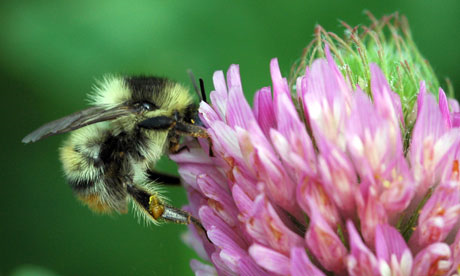 Bumblebees are important pollinators of wild plants and crops around the world. Photograph: RSPB / PA