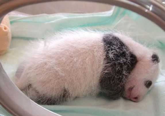 หมีแพนด้า หมีแพนด้าตกลูก ลูกหมีแพนด้า น่ารักมากๆ