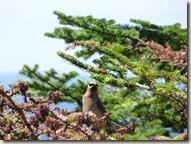 P1010674 parc national forillon jasseur des cèdres