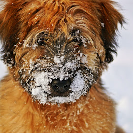 Bella BooAnn by Tina Bornheimer - Animals - Dogs Puppies ( soft coated wheaten terrier, terrier, dog, wheaten, wheaten terrier,  )