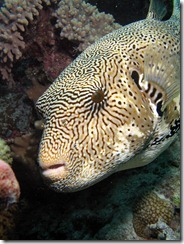 Star Eyed Pufferfish