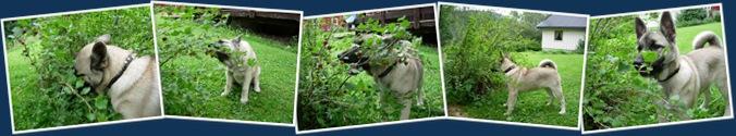 Vis En hund etter stikkelsbær