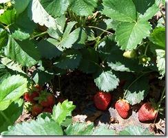 strawberryplants
