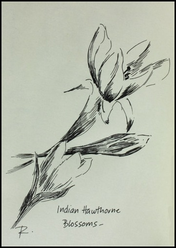 pen and ink drawing of Indian Hawthorne blossoms