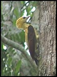 14mar10 picapau amarelo2