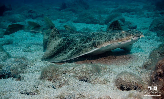 An Angel Shark Emerges from the sandy bottom