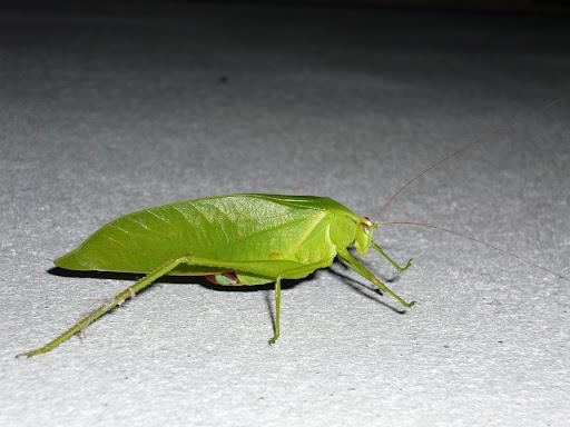 [Orthoptera sp.] ma sauterelle preferee... P1010345