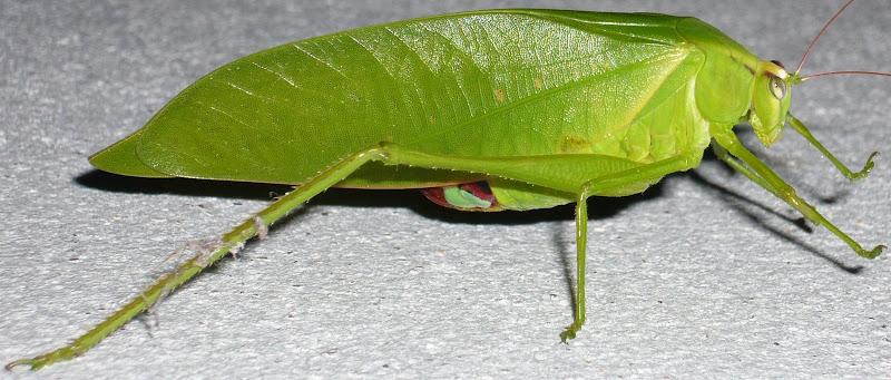 [Orthoptera sp.] ma sauterelle preferee... Sauterelle