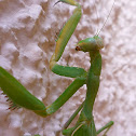 climbing praying mantis