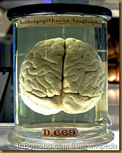 Chimpanzee Brain
