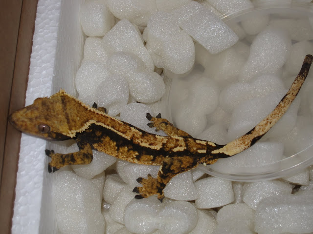 Tri-Color Crested Gecko Male