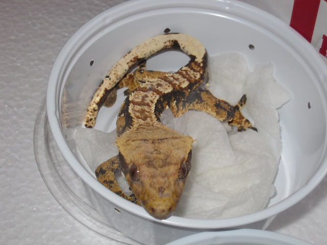 Tri Color Crested Gecko Male