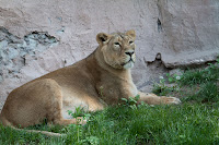 Löwe (Indisch)