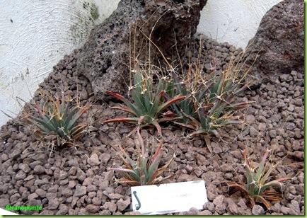 Leuchtenbergia principis orto botanico roma