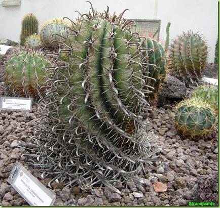 Ferocactus orto botanico roma