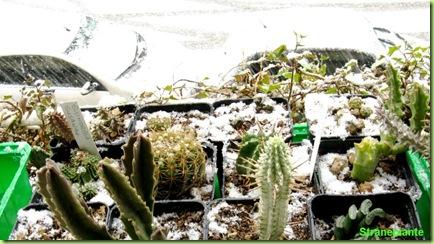 neve roma cactus