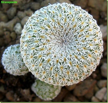 Epithelantha micromeris subsp. greggii