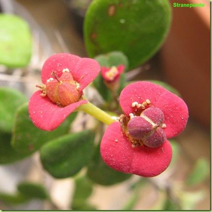 Euphorbia milii 3
