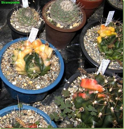 Cactacee variegate