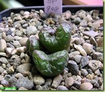 Conophytum sp 948 rinvaso
