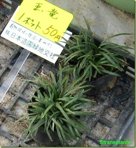 pianta giappone Himenji