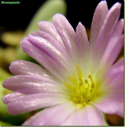 foto-fiore-Conophytum-chauviniae