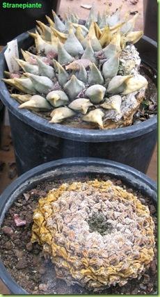 Ariocarpus vecchio e morto amsterda giardino botanico
