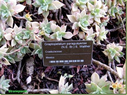 Graptopetalum paraguayense amsterdam