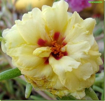 portulaca-grandiflora-fiore-giallo