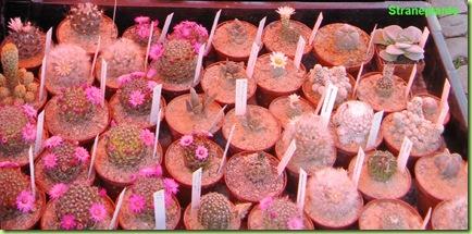 Ariocarpus-germania-vendita