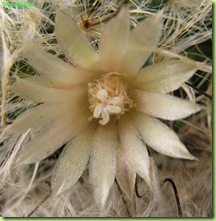 fiore Mammillaria bocasana