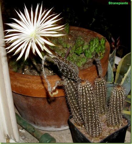 setiechinopsis mirabilis pianta   fiore