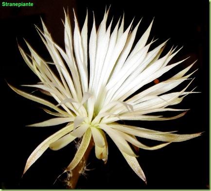 setiechinopsis mirabilis foto fiore